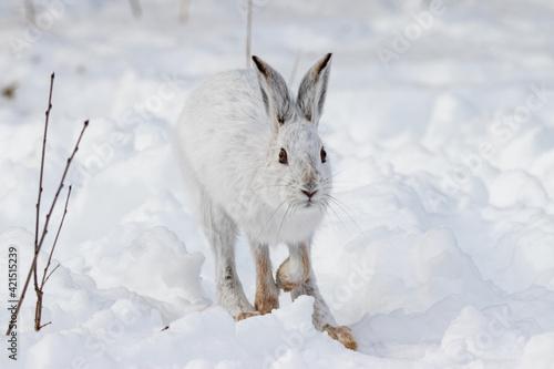 Obraz na plátne Snowshoe hare hopping through the snow