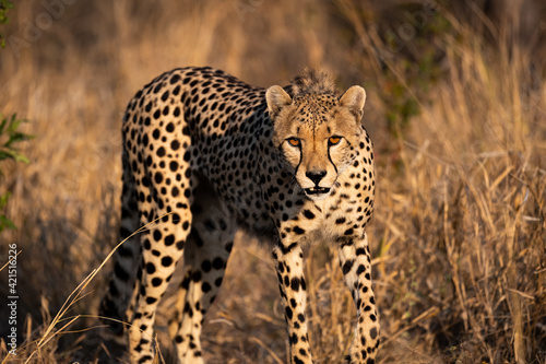 Fotomural Selective focus shot of a cheetah walking on dry grass