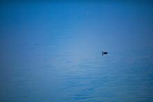 Single Flamingo Bird Swimming In Water On Lake Side