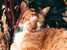 Close-up Of A Sleeping Ginger Tabby Cat