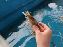 Child Holding A Thai Shrimp In Hand Design For Fishing And Harvest Concept Close-up
