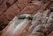Marine Lion Standing On Rocks At Sea