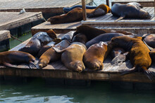 Group Of Sea Lions On Wooden Docks Sleeping On San Francisco Bay, At Pier 39