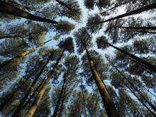 Low Angle View Of Pine Trees Showing Crown Shyness Taken In Hutan Pinus Asri, Indonesia