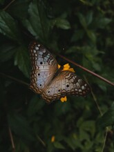 White Peacock Butterfly. Anartia Jatrophae