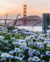Golden Gate Bridge With A Flower Foreground During Sunset