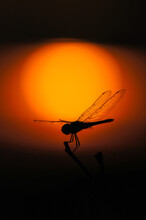 Silhouette Of Dragonfly Over Sunset.
