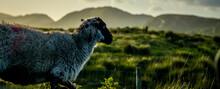 Irish Sheep In Field
