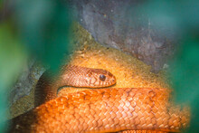 Corn Snake Is A Popular Snake. Raising A Pet Hunt For Small Prey By Shrinking
