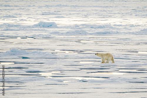 Polar bear walking on the ice in the Arctic Fototapeta