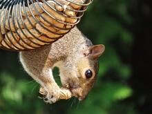 Closeup Of A Squirrel Eating A Peanut