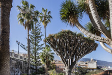 Dragon Tree La Orotava. Legend Relate That On Dying Dragons Changed Into Dragon Trees, The Most Known Tree In The Canary Islands. La Orotava, Tenerife, Canary Islands, Spain.