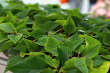 Poinsettia Flower Seedlings. Small Plants Of Poinsettia Or Christmas Star. Plants Nursery In A Greenhouse