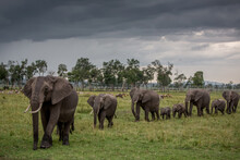 A Herd Of Elephants Walking In The Maasai Mara National Reserve, Kenya