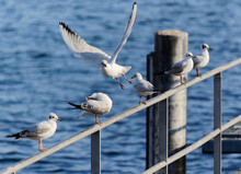 Many Seagulls Sitting On A Railing, One Bird Flying Away With Wide Spread Wings, Camera Focus Strongly Concentrated On The Center Of The Picture, By Day, Without People