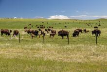 Bison Herd Grazing In Montana