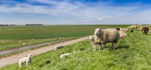 Panorama Of Sheep On A Dike In Friesland, Netherlands