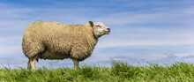 Panorama Of A White Sheep Standing On Top Of A Dike In Friesland, Netherlands