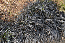 Winter Foliage Of The Perennial Evergreen Black Mondo Grass (Ophiopogon Planiscapus 'Nigrescens') Growing On The Edge Of A Herbaceous Border In A Garden In Rural Devon, England, UK