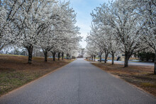 Rows Of White Flowering Trees