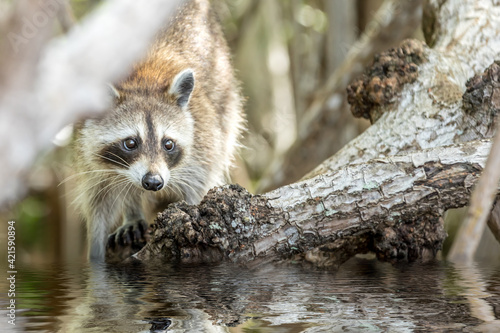 Fotografie, Obraz Portrait Of A Racoon In Water