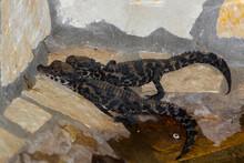 African Dwarf Crocodile Babies Soon After Hatching