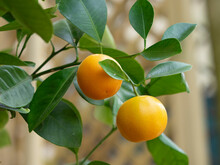 (Citrus × Microcarpa) Cultivated Calamansi Or Calamondin, Ornamental Shrub In Europe Producing Small And Round Fruits With Orange Color Like Tangerines Peel When Ripe