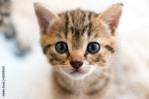 Close-up Portrait Of Tabby Kitten Fototapeta