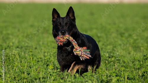 Fotografie, Tablou Trained Black German Shepherd Retrieving Object In A Green Field, Italy