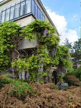 Old Villa House With Blooming Wisteria Flowers