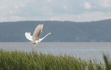 White Heron Spreading Its Wings And Opening Its Beak Takes Off From The River