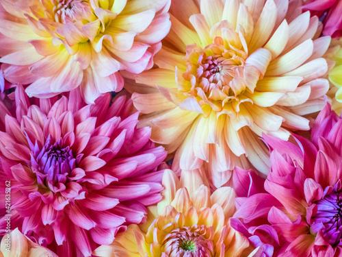 USA, Washington State, Sammamish Dahlia flower design and patterns Fototapet