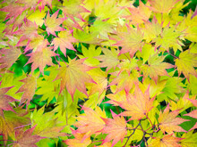 USA, Washington State, Sammamish Japanese Maple Leaves Fall Colors In Gold And Reds