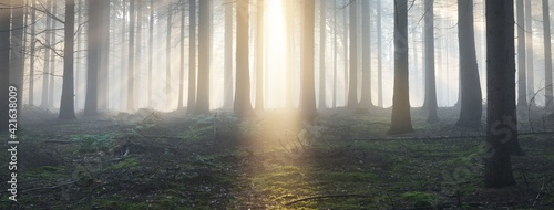 Fototapeta Panoramic view of the majestic evergreen forest in a morning fog. Mighty pine tree silhouettes. Atmospheric dreamlike summer landscape. Sun rays, mysterious blue light. Nature, fantasy, fairytale obraz