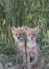 Vertical shot of two baby fox cubs sitting on the grass