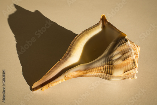 Fotografiet Whelk Seashell with dramatic shadow