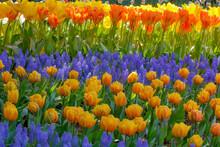 USA, Washington State, Skagit, Western Washington Springtime Blooming Tulips, Grape Hyacinth