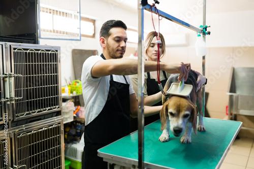 Fototapeta Latin man combing a cute beagle dog at the animal salon obraz