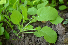 Closeup Shot Of A Bunch Of Green Spinach Plant Seedlings In The Garden.
