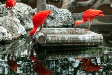 Scarlet Ibis At Feeder . Red Exotic Birds
