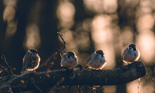 Cute Sparrows Perched On A Tree Branch On Blurred Bokeh Background In The Forest