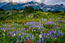 USA, Washington State, Mount Rainier National Park. Wildflowers Carpet Edge Of Paradise Hiking Trail.
