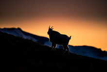 USA, Washington State, Mount Rainier National Park. Mountain Goat Silhouetted At Sunset.