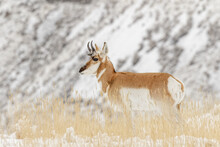 Pronghorn In Winter, Antilocapra Americana, Yellowstone National Park, Wyoming.