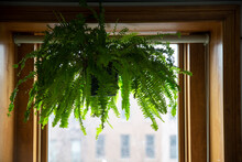 Hanging Fern In A Pot Next To The Window Frame In A Apartment Room