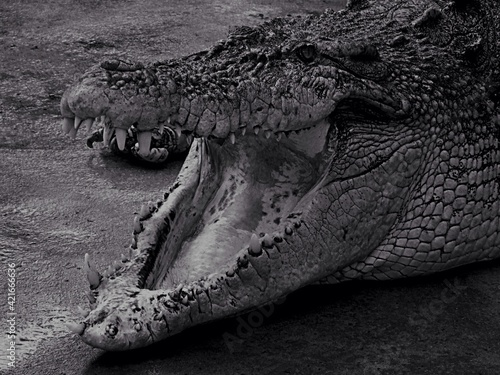 Fotografie, Tablou Close-up Of Crocodile With Mouth Open