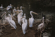 Group Of White Pelicans On A Lake At ARTIS Zoo In Amsterdam, Netherlands