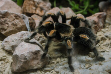 Closeup Shot Of Furry Tarantula At ARTIS Zoo In Amsterdam, Netherlands