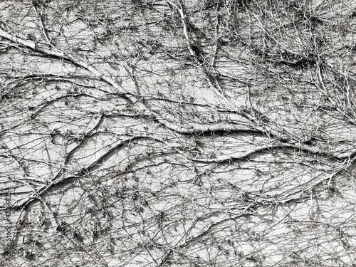 Billede på lærred Detail Shot Of Creepers On Wall