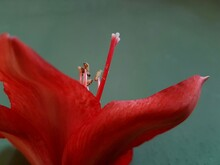 Close-up Of Pistil On Red Flower
